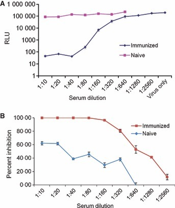 The effect of neutralizing antibody on influenza A virus‐induced luciferase activity of ELVIRA® Flu A‐luc cells. Naive and immunized mouse sera were heat‐treated at 56°C for 30 minutes and then serial diluted from 1:10 to 1:640 (non‐immune serum) and 1:10 to 1:2560 (immune serum). Influenza A virus (WS/33; H1N1) (5000 infectious units) was incubated 1:1 (vol/vol) with each dilution of the sera for 60 minutes at room temperature. The virus was then used to infect ELVIRA® Flu A‐luc cells and luciferase activity was measured after 24 hours. (A) Data expressed as total RLU per well. (B) Data expressed as a percentage of luciferase activity in virus‐only wells.