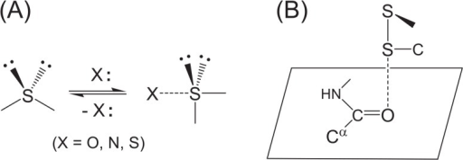 Formation and structural features of the S···X interaction. (A) The divalent S atom adopts the coordination from a heteroatom X, changing the valence state from a tetrahedral to a hypervalent trigonal bipyramidal state. (B) The most frequently observed S···O interactions in proteins. The S atom of a disulfide bond (SSC type) approaches a main-chain amide O atom in a direction vertical to the peptide plane maintaining the linearity of the three S–S···O atoms.