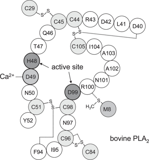 The active site of bovine PLA2. The dotted lines indicate the S···O and S···N interactions present in the vicinity and the binding of Asp49 to a calcium ion.