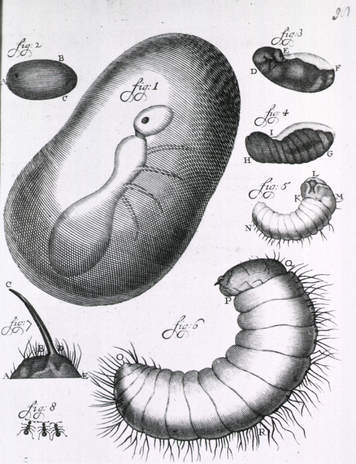 <p>Insect(s) in various stages of metamorphosis.</p>