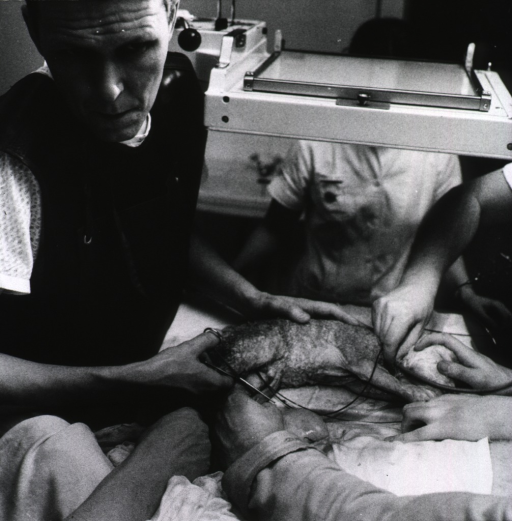 <p>Professor L. Hirvonen is following the heartbeat of a newborn lamb on a guage (which is not shown); several pairs of hands belonging to assistants are also visible. Hirvonen is ready to clip the umbilical cord.</p>