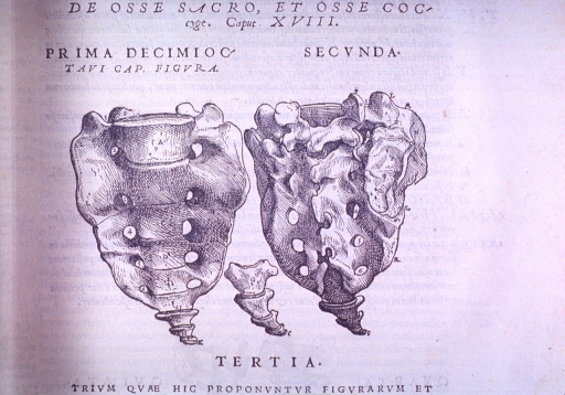 <p>Display of sacral and coccygeal vertebrae, front and back view, including view of the coccygeal vertebrae only.</p>