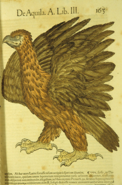 <p>Hand-colored woodcut of an eagle in profile.</p>