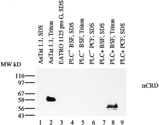 Presence of GPI-PLC activity in PLC+ trypanosomes.  Western analysis of bloodstream trypanosomes from four cell  lines; AnTat 1.1, proG Anvers, PLC− and PLC+. Lysates were  prepared by SDS or Triton lysis, Western blotted, and probed  with anti-CRD. All samples are from the same blot and were  probed simultaneously.