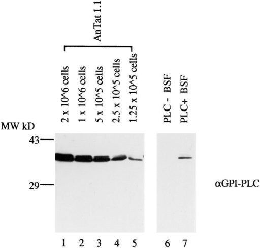 Expression of GPI-PLC protein in PLC+ trypanosomes. Lysates of bloodstream trypanosomes from three lines;  AnTat 1.1, PLC−, and PLC+ trypanosomes were Western blotted and probed with anti–GPI-PLC. All samples are from the  same blot and were probed simultaneously.