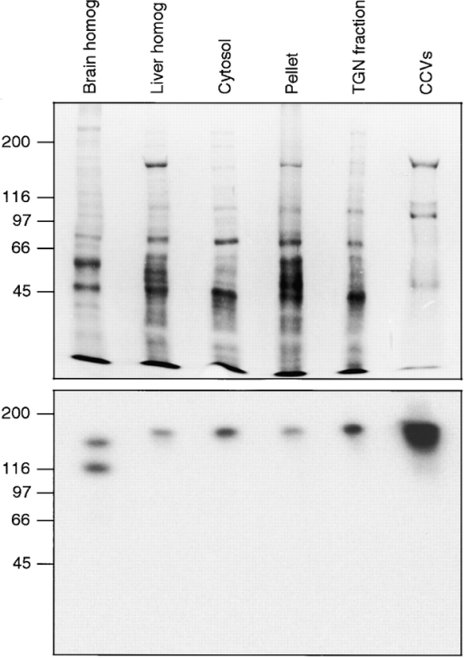 SDS-PAGE and Western blot probed with anti–γ-synergin. The samples, from left to right, are: pig brain homogenate, rat liver homogenate, rat liver high speed supernatant (cytosol), rat liver high speed pellet, rat liver TGN-enriched fraction, and rat liver clathrin-coated vesicles. The blot shows that γ-synergin is a peripheral membrane protein that is highly enriched in clathrin-coated vesicles. The different patterns seen in brain and liver may be due to alternative splicing.