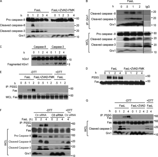 FasL induces caspase-dependent cleavage of Grx1 and increases PSSG as well as S-glutathionylation of Fas. (A) Immunoblot analysis of cleaved caspase-8 (p18) and -3 fragments (p17 and p19) in C10 cells treated with FasL + M2 as described in Fig. 1 in the presence or absence of 10 µM ZVAD-FMK. The bottom panel shows total cellular content of Grx1. Note that expression of the pro form of caspase-8 remains unchanged during the course of the experiment. (B) Evaluation of the interaction between Grx1 and caspase-8 or -3 in cells. C10 cells were exposed to FasL + M2 as described in Fig. 1 A, and Grx1 was immunoprecipitated (IP) at the indicated times for the evaluation of association with active caspase-8 or -3 fragments via Western blotting. The bottom panel represents a Grx1 immunoblot. Lanes on the right represent lysates from cells treated with FasL + M2 for 2 h but were subjected to IgG IP as a reagent control. All samples were run on the same gel, and the lanes were cut and reassembled for consistency. The bottom panels represent total content of proteins in whole cell lysates (WCL) that were used as the input for IP. Note that expression of the pro form of caspase-8 remains unchanged during the course of the experiment. Black line indicates that intervening lanes have been spliced out. (C) In vitro assessment of cleavage of Grx1 by caspase-8 or -3. 200 ng recombinant hGrx1 was incubated with 200 U active caspase-8 or -3. At the indicated times, samples were prepared for immunoblot analysis of hGrx1. Fragmented hGrx1 product is ∼8 kD in size. Incubation of heat-inactivated caspase-8 and -3 with hGrx1 for 4 h largely prevented the formation of cleaved fragment (0 h). (D) Increases in overall PSSG are a response to ligation of Fas and are caspase dependent. Cells were incubated as described in A. ZVAD-FMK or vehicle was added to cells 2 h before ligation of Fas as well as 2 h after ligation. Lysates were resolved by nonreducing SDS-PAGE. Antiglutathione antibody was used to detect PSSG on immunoblots. The bottom panel shows total Fas content. (E) Caspase-dependent S-glutathionylation of Fas. C10 cells were incubated with FasL + M2 for 0.5, 1, or 2 h in the presence or absence of ZVAD-FMK. Cell lysates were subjected to nonreducing IP (−DTT) using antiglutathione antibody to IP S-glutathionylated proteins (IP: PSSG) before detection of Fas via Western blotting. As a reagent control to reduce S-glutathionylated proteins before IP, samples were incubated with 50 mM DTT (+DTT). The bottom panel represents Fas content in cell lysates. (F) S-glutathionylation of Fas requires the presence of caspase-8. C10 cells were transfected with control (Ctr) siRNA or caspase-8 (C8)–specific siRNA and 48 h later were incubated with FasL + M2 for 2 or 4 h. The top lane shows assessment of S-glutathionylation of Fas via IP of S-glutathionylated proteins using antiglutathione antibody (IP: PSSG) under nonreducing conditions (−DTT) before detection of Fas via Western blotting. As a reagent control to reduce S-glutathionylated proteins before IP, samples were incubated with 50 mM DTT (+DTT). The bottom panels show total content of Fas, procaspase-8, cleaved caspase-8, cleaved caspase-3, and Grx1 in whole cell lysates. (G) Assessment of caspase-dependent degradation of Grx1 and S-glutathionylation of Fas in NIH 3T3 cells after ligation of Fas. Cells were treated with 500 ng/ml FasL + 1 µg/ml M2 for 1, 2, or 4 h in the presence or absence of ZVAD-FMK. S-glutathionylated proteins were immunoprecipitated as described in E before detection of Fas via Western blotting. The bottom panel represents Fas content, cleaved caspase-3, and Grx1 content in whole cell lysates.