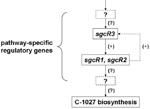Hypothetical schematic regulatory hierarchy of C-1027 biosynthesis in S. globisporus C-1027. Break line box with interrogation point represents unknown pathway-specific regulatory genes and break line arrow represents hypothetic feedback regulation. (+) indicates positive regulation and (?) indicates unknown possible regulation.