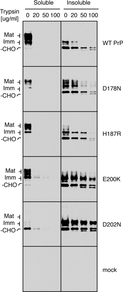 Limited protease digestion analysis for folding status of PrP mutants.Total detergent lysates of the indicated PrP constructs were digested with various concentrations of trypsin on ice before separation into soluble and insoluble fractions that were analyzed by immunoblots. Note that these digestion conditions are significantly milder than that used for analysis of surface exposure (e.g., in Fig. 4A and 5A), where trypsin fully digests the PrP mutants.