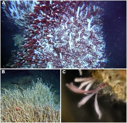 Examples of siboglinid species and their habitat requirements.A) Riftia pachyptila giant tubeworms growing on a hydrothermal vent in the north-east Pacific (Image courtesy of Richard Lutz), B) Lamellibrachia luymesi at a cold seep in the Gulf of Mexico (Image courtesy of DT, KH, Kevin Fielman and Scott Santos) and C) Osedax mucofloris living on a whale-bone found off the coast of Sweden.
