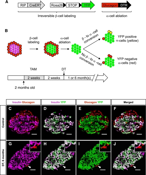 Newly formed α-cells after ablation are not reprogrammed β-cells. A: Transgenes required for the inducible β-cell tracing and α-cell ablation. B: Experimental design for irreversible labeling of adult β-cells before α-cell ablation. C–F: Almost all β-cells were YFP-labeled after tamoxifen (TAM) administration in control animals (DT-untreated). G–J: At 6 months after DT, none of the very rare glucagon-expressing cells were YFP-positive (the arrowhead points to one α-cell, also shown in the top right inset at higher magnification). Scale bars = 20 μm. (A high-quality digital representation of this figure is available in the online issue.)