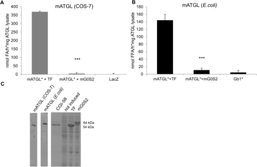 TG hydrolase activity of full length ATGL is inhibited by G0S2.A. Mouse ATGL (mATGL) contained in COS-7 cell lysates were subjected to in vitro TG hydrolase activity assay in the presence of CGI-58 (*) and without or with addition of bacterially expressed mouse G0S2 (mG0S2), using radiolabeled triolein as artificial substrate. B. E. coli expressed mATGL was assayed in in vitro TG hydrolase activity assay without or with mG0S2 as above. Gb1, the fusion tag of mATGL, does not exhibit TG hydrolase activity. Representative assays (performed in triplicates) of three independent experiments are shown. Data are presented as mean+SD. *** indicate statistical significant differences as determined by unpaired Student's t-test (two-tailed), p>0.001. As control, the corresponding fusion tag (Trigger factor –TF for mG0S2) was added to the reaction. C. Western blots confirming expression of mATGL in COS-7 cells and in E.coli. SDS-PAGE showing purified CGI-58 (∼54 kDa) and bacterial lysates of TF-mG0S2 (64 kDa), and TF alone (54 kDa). As a control, lysates of non induced cells were used.
