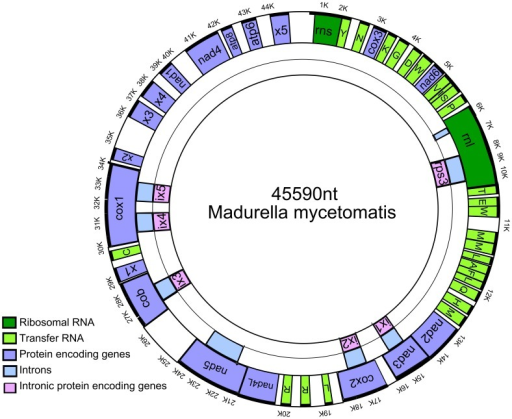 Physical map of the mitochondrial genome of M. mycetomatis.All genes are located on the plus-strand and are shown in the outer ring of the circle, they are transcribed counterclockwise. On the plus-strand the following genes are encountered: rnl, rns, 11 genes encoding subunits of respiratory chain complexes (cob, cox1, cox2, cox3, nad1, nad2, nad3, nad4, nad4L, nad5, and nad6), 2 ATP synthase subunits (atp6 and atp8), 5 hypothetical proteins (x1, x2, x3, x4 and x5) and 6 intronic proteins including the ribosomal protein rps3 are shown. The introns are shown as blue boxes in the middle ring underneath the genes in which they are located. The intronic proteins are shown as pink boxes in the inner ring underneath the introns and the genes in which they are located. The exact starting en ending positions of each gene, intron and tRNA are shown in table 1.
