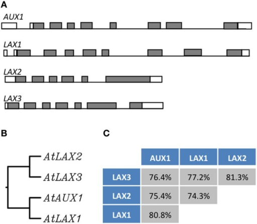 The AUX/LAX family of auxin influx transporters. Genetic organization of the AUX/LAX genes sequences showing exons (gray boxes) and introns (bars) (Péret et al., 2012) (A). Phylogenetic tree of the AUX/LAX protein sequences generated from a ClustalW alignment (B). Percentage of identity between the members of the AUX/LAX family (identity is given a the score returned upon the ClustalW alignment) (C).
