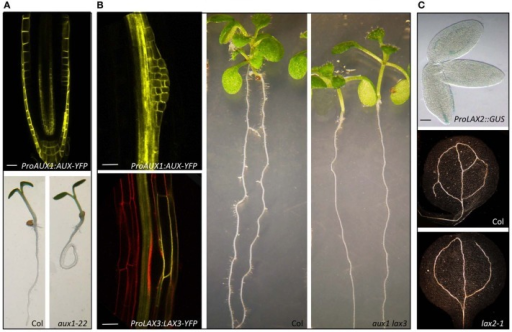 Mutations in AUX/LAX genes result in auxin related developmental defects. AUX1 regulates root gravitropism (Swarup et al., 2001, 2004, 2005). AUX1 is expressed in tissues that are involved in gravity perception, signal transmission, and response and mutation in aux1 cause agravitropic roots (A). Both AUX1 and LAX3 regulate lateral root development (Swarup et al., 2008). AUX1 is expressed in lateral root primordia whereas LAX3 in the cortical and epidermal cells in contact with the primordia and aux1 lax3 double mutants have severely delayed lateral root emergence (B). LAX2 regulates vascular patterning in cotyloedons (Péret et al., 2012). LAX2 is expressed in the vascular tissues during embryo development and lax2 mutants show vascular breaks in the cotyledons (C). (Scale bars 20 μm).