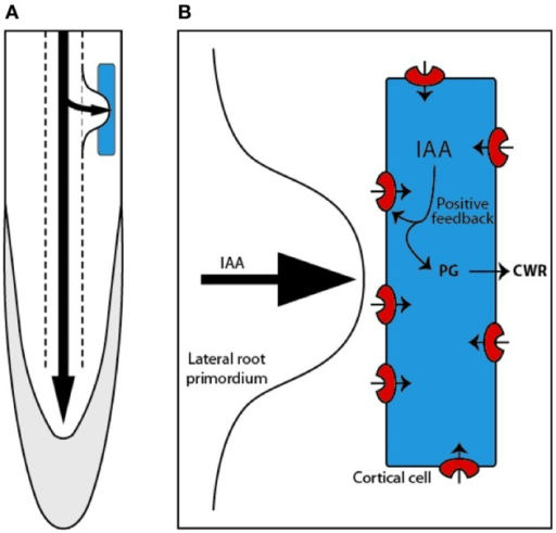 Lateral root are formed within the pericycle deep inside the primary root and have to emerge through the outer tissue, passing through the endodermal, cortical (blue), and epidermal cells (A). Mechanism proposed by Swarup et al. (2008) describing how auxin (IAA) entering the cortical cell induces the expression of LAX3. This generates the establishment of a positive feedback loop that triggers high auxin levels and subsequent induction of cell wall remodeling (CWR) genes, such as the polygalacturonase (PG)(B).