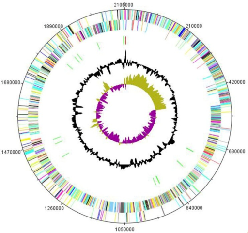 Graphical circular map of the chromosome. From the outside to the center: genes on the forward strand (colored by COG categories), genes on the reverse, RNA genes (rRNAs red, tRNAs green), G+C content, GC skew (purple negative values, olive positive values).