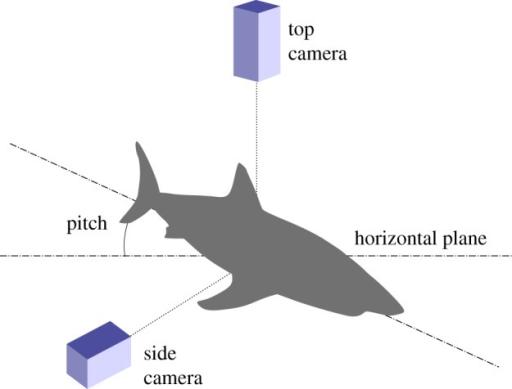 Tiger Shark Body Diagram Diy Enthusiasts Wiring Diagrams