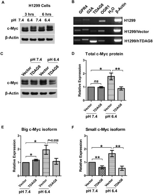 Ectopic overexpression of TDAG8 inhibits the upregulation of c-Myc protein by acidosis in H1299 cells. (A) c-Myc protein is moderately increased by acidosis in H1299 cells. Cells treated with HEM-buffered RPMI medium at pH 7.4 or pH 6.4 for three and 6 h were subject to Western blot assay using anti-c-Myc antibody. β-Actin was used as a loading control; (B) Low expression of proton-sensing GPCRs in H1299 cells. Total RNAs were isolated from H1299 parental, H1299/vector and H1299/hTDAG8 cells and subject to RT-PCR using gene-specific primers of GPR4, G2A, TDAG8 and OGR1. β-Actin was used as a positive control; (C) c-Myc protein is reduced by ectopic overexpression of TDAG8. Cells were treated with HEM-buffered RPMI medium at pH 7.4 or pH 6.4 for 3 h and, then, subject to Western blot assay using anti-c-Myc antibody. β-Actin was used as a loading control; (D–F) Quantification of Western blot results from (C). The expression of the total (D), big isoform (E) and small isoform (F) of c-Myc were quantified based on six Western blot repeats. The expression of c-Myc under the 3-h pH 7.4 treatment was set as one. Error bars indicate ±SEM. *p < 0.05; **p < 0.01; ns, not significant (p > 0.05).