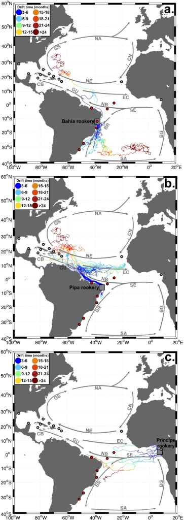 Pathways of drifters passing by Atlantic Ocean rookeries Bahia (a.), Pipa (b.) and Principe (c.).Drifter pathways for the other Atlantic rookeries are shown in Figure S3. Colors indicate drift time (in months). Grey squares  =  drifter release areas around the rookeries, red circles  =  Brazilian feeding grounds, grey circles  =  other Atlantic Ocean feeding grounds. Grey arrows indicate the flow of the major Atlantic Ocean currents: SE =  South Equatorial Current, BR =  Brazil Current, SA =  South Atlantic Current (displaced to the North for illustrative purposes), BG =  Benguela Current, NB =  North Brazil Current, GU =  Guiana Current, CB =  Caribbean Current, EC =  Equatorial Counter Current, NE =  North Equatorial Current, GS =  Gulf Stream, NA =  North Atlantic Current, CN =  Canary Current.