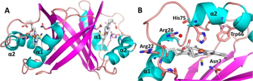 X-ray crystal structure of MhuD–heme–CN(PDB ID 4NL5). (A) Ribbon representationof the dimeric MhuD–heme–CN complex. (B) Ribbon representationof the MhuD–heme–CN heme-binding pocket. α-Helicesand β-strands are depicted in cyan and magenta, respectively.Loops and side chain carbons are shown in salmon. All α-helicesare labeled, with the second polypeptide chain differentiated by aprime symbol (′). Heme–CN, one per active site, is representedas a stick model, where nitrogen, oxygen, heme carbon, and cyano carbonatoms are in blue, red, white, and yellow, respectively. Iron atomsand ordered water molecules are depicted as orange and red spheres,respectively.