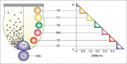 Schematically represented alteration of ventral neurona   Open-i on