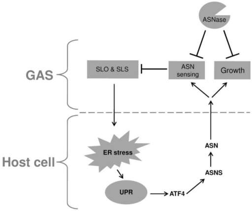 A model describing the reciprocal relationship between GAS and infected host cell. Upon adherence, GAS delivers the SLO and SLS toxins to the host cell. These toxins induce ER stress causing UPR, which in turn is responsible for the elevated transcription of asns gene through the PERK-eIF2-ATF4 pathway. The enhanced activity of ASNS leads to release of ASN to the culture medium which is sensed by GAS, resulting in reduced transcription of both SLO and SLS. In addition, GAS utilizes the released ASN to enhance its rate of proliferation. Both effects of host ASN on GAS can be inhibited by the addition of bacterial ASNase a widely used chemotherapeutic agent.