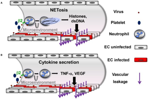 Proposed neutrophil-mediated mechanisms contributing to vascular leakage during hantavirus infection. Neutrophils are activated through virus-induced β2 integrin signaling. Activated platelets also stimulate neutrophils through β2 integrins. Depending on the β2 integrin ligands involved and possibly further microenvironmental stimuli neutrophils can be activated in a different way resulting in (A) NETosis or (B) secretion of inflammatory cytokines such as TNF-α or VEGF. In both cases increased vascular leakage is generated, although most likely by distinct mechanisms.