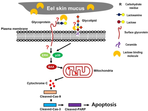 Schematic diagram of the mechanisms of ESM-mediated apoptosis.