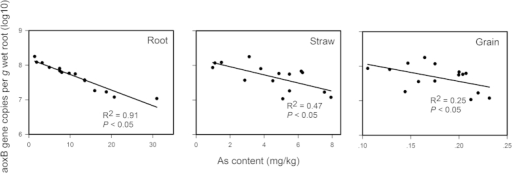 The correlation between abundance of arsenic-oxidizing bacteria (designed as normalized aoxB gene copy number) on iron plaque and arsenic content in rice root, straw and grain.
