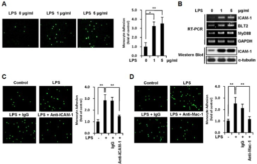ICAM-1 expression induced by LPS in MDA-MB-231 breast cancer cells promotes their adhesion to THP-1 monocytes. (A) MDA-MB-231 cells were treated with LPS (0, 1, and 5 μg/ml) for 24 h and then co-cultured with calcein-AM-labeled THP-1 cells for 1 h. THP-1 cells that had adhered to MDA-MB-231 cells were visualized, and the number of adherent monocytes was determined using fluorescence microscopy. (B) MDA-MB-231 cells were treated with LPS (0, 1, and 5 μg/ml) for 24 h, after which the mRNA levels of ICAM-1, BLT2, MyD88 and GAPDH were measured by semi-quantitative RT-PCR. The protein levels of ICAM-1 and α-tubulin were measured by Western blot assay. (C) LPS-pretreated MDA-MB-231 cells (1 μg/ml, 24 h) were treated with anti-human ICAM-1 or anti-mouse IgG isotype control antibodies for 2 h, and the cells were then co-cultured with calcein-AM-labeled THP-1 cells for 1 h. The adherence of THP-1 cells to MDA-MB-231 cells was visualized, and the number of adherent monocytes was determined using fluorescence microscopy. (D) THP-1 cells were treated with anti-human Mac-1 or anti-mouse IgG isotype control antibodies for 2 h, and the THP-1 cells with calcein-AM-label were then co-cultured with LPS-pretreated MDA-MB-231 cells for 1 h. The adherence of THP-1 cells to MDA-MB-231 cells was visualized, and the number of adherent monocytes was determined using fluorescence microscopy. The data are representative of three independent experiments with similar results. All quantitative data are represented as the mean ± SD from three independent experiments. *p < 0.05, **p < 0.01.