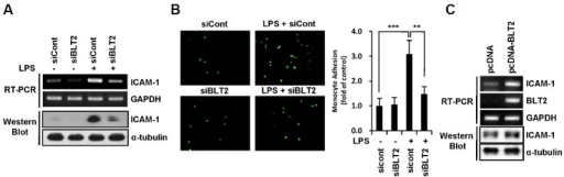 BLT2 inhibition attenuates LPS-induced ICAM-1 expression in MDA-MB-231 cells. (A) MDA-MB-231 cells were transfected with BLT2 (siBLT2) or control (siCont) siRNA for 24 h and then treated with LPS (1 μg/ml) for 24 h. The ICAM-1 mRNA levels in these treated MDA-MB-231 cells were assayed by semi-quantitative RT-PCR (upper), and the ICAM-1 protein levels were determined by Western blot assay (lower). (B) MDA-MB-231 cells were transfected and treated as in (A) and then co-cultured with calcein-AM-labeled THP-1 cells for 1 h. The adherence of THP-1 cells to MDA-MB-231 cells was then visualized, and the number of adherent monocytes was determined using fluorescence microscopy. (C) MDA-MB-231 cells were transfected with an expression plasmid for human BLT2 (pcDNA-BLT2) or the empty plasmid (pcDNA), and then incubated for 24 h. Then, the cells were assayed for ICAM-1 mRNA levels by semiquantitative RT-PCR (upper) and protein levels by Western blot assay (lower). The data are representative of three independent experiments with similar results. All quantitative data are represented as the mean ± SD from three independent experiments. **p < 0.01, ***p < 0.005.