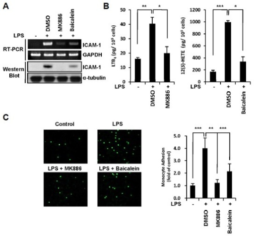 Inhibition of BLT2 ligands synthesis suppresses LPS-induced ICAM-1 expression in MDA-MB-231 cells. (A) MDA-MB-231 cells were incubated with MK886 (5 μM) and baicalein (20 μM) for 30 min and then incubated for 24 h in the presence or absence of LPS (1 μg/ml). The cells were then assayed for ICAM-1 mRNA levels by semi-quantitative RT-PCR (upper) and protein levels by Western blot assay (lower). (B) MDA-MB-231 cells were treated as in (A) and then the levels of LTB4 and 12(S)-HETE in cell supernatants were measured by ELISA. (C) MDA-MB-231 cells were treated as in (A) and then co-cultured with calcein-AM-labeled THP-1 cells for 1 h. The adherence of THP-1 cells to MDA-MB-231 cells was visualized, and the number of adherent monocytes was determined using fluorescence microscopy. The data are representative of three independent experiments with similar results. All quantitative data are represented as the mean ± SD from three independent experiments. *p < 0.05, **p < 0.01, ***p < 0.005.