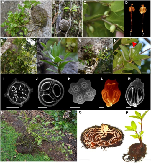 Photos of the three Fijian new species, Squamellaria grayi, Chomicki & Wistuba, sp. nov. (Taveuni), S. huxleyana Chomicki, sp. nov. (Vanua Levu) and S. jebbiana Chomicki, sp. nov.(A-D)Squamellaria grayi. (A) Mature adult with flowers closed during the day. (B) Seedling. (C) Fruits. (D) CT scanning image of the functionally unisexual flowers of S. grayi lacking the squamellae at the inner base of the flower tube (see also Fig 4B, 4E and 4F). (E-H) Squamellaria huxleyana. (E) Habit of a mature adult. (F) Shoot with calyx nectaries visited by Philidris nagasau workers. Inset shows details of nectary and fruits (see also Fig 6E). (G) Habit of two young individuals growing adjacently. (H) Flowering shoot including one flower whose corolla has split and which is therefore secondarily zygomorphic. (I) CT-scanning optical cross-section of S. grayi bud, with reduplicate petal margins (see also Fig 4C). (J) CT-scanning optical cross-section of S. grayi fruit, with three carpels. (K) CT-scanning cross-section of S. huxleyana bud, showing the four carpels. (L) CT-scanning longitudinal 3D reconstruction of an S. huxleyana fruit showing the curved pyrenes. (M) CT-scanning longitudinal section of S. grayi fruit showing the straight pyrenes. (N-P) S. jebbiana. (N) Habit of a mature adult (fall on the ground). (M) Domatium cross-section. (O) Juvenile individual. Photographic credit: G. Chomicki except D, I-M: Y. Staedler. Scale bars: A: 10 cm; B: 1.5 cm; C-D: 1 cm; E: 20 cm; F: 2 cm; G: 7 cm; H: 2 cm; I,J: 1.5 mm; K: 3 mm; L-M: 2 mm; N: 20 cm; O: 6 cm; P: 2.5 cm.