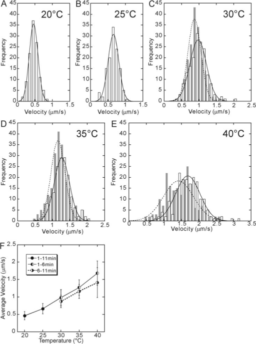 Temperature dependence of walking velocity. The data at 20°C (A) and 25°C (B) were obtained between 1 and 11 min of incubation at each temperature. On the other hand, for 30°C (C), 35°C (D) and 40°C (E), the data obtained between 1 and 6 min of incubation are shown by open bars, whereas the data obtained between 6 and 11 min after the incubation are shown by gray bars, because they showed a different set of values although the shape of the distribution was the same, i.e., approximated by a single Gaussian. The average walking velocity, which was defined as a peak of the Gaussian distribution, was 0.46, 0.66, 0.98 (0.87), 1.27 (1.16) and 1.68 (1.41) μm/s at 20, 25, 30, 35 and 40°C, respectively (the values in the parentheses, the data for 6–11 min). In Fig. 4F, these values are shown by closed circles for 20 and 25°C and left-half filled circles for 30, 35 and 40°C connected by a solid line. Right-half filled circles (connected by a dashed line) show the average velocity obtained from the data taken between 6 and 11 min of incubation at 30, 35 and 40°C.