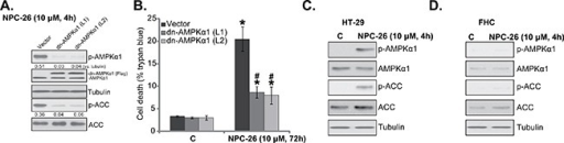 "AMPKα1 mutation inhibits NPC-26-induced killing of HCT-116 cellsPuromycin-selected HCT-116 cells, expressing dominant negative AMPKα1 (""dn-AMPKα1"", T172D) or empty vector, were treated with/out NPC-26 (10 μM) for applied time, listed proteins were shown A.; Cell death B. were tested. HT-29 cells or FHC colon epithelial cells were treated with designated concentration of NPC-26 for 4 hours, expression of listed proteins was shown C. and D. For each assay, n=5. Experiments in this figure were repeated three times, and similar results were obtained each time. AMPKα1/ACC phosphorylation (vs. total protein, or vs. tubulin when mentioned) was quantified (A). * p <0.05 vs. ""C"". #p <0.05 vs. ""Vector""."