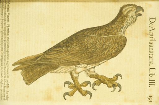 <p>Hand-colored woodcut of an eagle.</p>