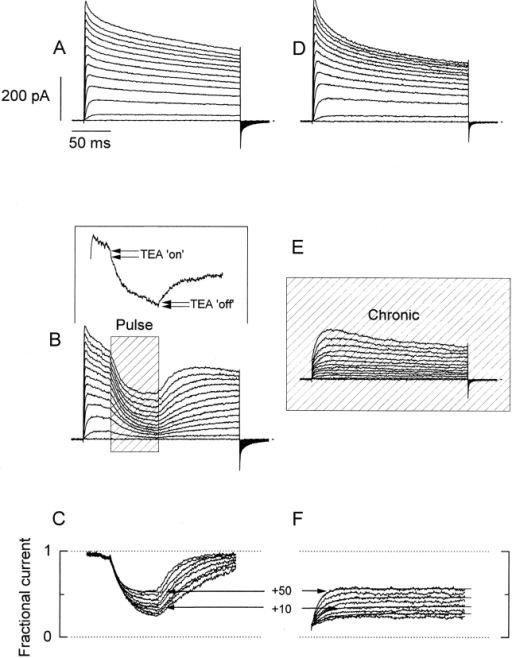 Comparison between pulse and chronic applications of κ-PVIIA to outside-out patches. A and D show current records from two different outside-out patches elicited by 200-ms long voltage pulses from −60 to +50 mV, with intervals of 10 mV. Bath and pipette K+ concentration were 2 and 15 mM, respectively (see methods). (B) Rapid applications of 1 mM TEA+/500 nM κ-PVIIA to an outside-out patch ∼40 ms after the beginning of the activating voltage pulse. The shaded area (Pulse) indicates the duration of the toxin application. Records shown are the average of four individual records at each voltage. (Inset) A single record taken at 0 mV showing the inflection in the K currents produced by the presence of 1 mM TEA+ in the toxin-containing solution. The TEA+-induced inflection is lost in the average because of the variable latency of the solenoid valve. (E) Chronic application of 1 mM TEA+/500 nM κ-PVIIA to the outside-out patch. The solenoid valve was open while the acquisition lasted. C and F show point-by-point divisions of the leak-subtracted TEA+/toxin records by their respective leak-subtracted controls. Single-exponential fits to each resulting relaxation while the toxin was present were performed (thin lines shown alternately for clarity). The sections including current at holding potential and capacitative transient were eliminated. (F) Exponential functions were extrapolated to the beginning of the voltage pulse and converge to the same value. In A, B, D, and E, the dotted line indicates the zero current level.