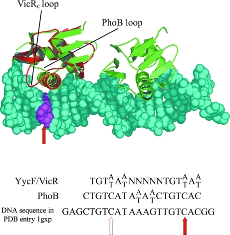 Ribbon representation showing two molecules of PhoB (green) in complex with DNA shown in space-filling representation (Blanco et al., 2002 ▶; PDB code 1gxp). VicRc is shown in red, superimposed onto one PhoB monomer. The consensus sequences for YycF/VicR homologues and PhoB targets are also shown, with the C to A/T substitution mentioned in the text indicated by red arrows in each repeat. The filled red arrow indicates the corresponding base pair in the model, which has been coloured magenta and lies close to the recognition helix. The loop region of PhoB does not reach the DNA, while the VicRc loop could make contact with it.