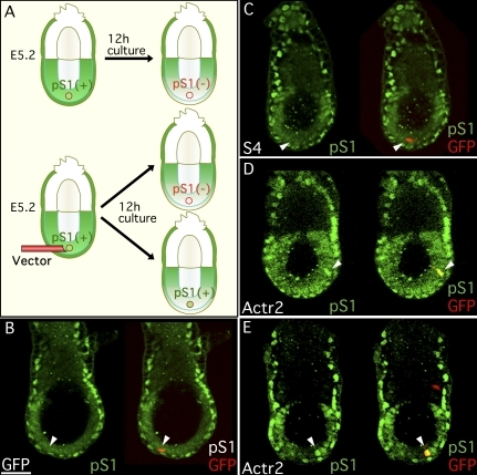 A limited level of type II Activin receptors is responsible for antagonistic balance between Smad1 and Smad2 signaling in the mouse embryo. (A) Experimental strategy. An effector gene, together with a GFP expression vector, was introduced into epiblast cells on the distal side of E5.2 mouse embryos. The embryos were cultured for 12 h and were examined for the distribution of p-Smad1 by immunohistofluorescence staining. (B–E) Localization of p-Smad1 (pS1; green) and merged images of p-Smad1 with GFP-positive cells (GFP; red). Arrowhead indicates the GFP-positive cell. S4, Smad4; Actr2, Actr2a plus Actr2b. Bars, 50 µm.