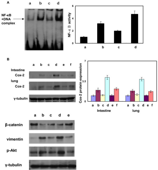 Activation of NF-κB in murine lung and intestinal tissues. (A) The activation of NF-κB was detected by EMSA in intestinal tissues. Representative figures are shown for (a) unirradiated control mice, (b) irradiated mice 24 h after exposure to 20 Gy, (c) flutamide-treated mice 24 h after exposure to 20 Gy and (d) castrated mice 24 h after exposure to 20 Gy. These findings demonstrate that there was significant attenuation of RT-induced the binding activity of nuclear NF-κB in castrated mice, whereas androgen deprivation by flutamide did not induce NF-κB activation. (Y axis represents the relative level which is normalized by the level of NF-κB activity in control condition). (B) Expression of COX-2 protein in irradiated murine intestinal tissue with or without androgen deprivation including castration and flutamide administration. (a, control; b, irradiation; c, castration alone; d, castration plus irradiation; e, flutamide administration; f, irradiation plus flutamide administration). Triplicate experiments were performed for the analysis. (Y axis represents the relative protein level which is normalized by the protein level of COX-2 in control condition). (C) Expression of β-catenin, vimentin and p-Akt in the intestinal tissues after various treatments (a, control; b, treated with TGF-β1; c, treated with TGF-β1+ wortmannin; d, irradiated tissue 24 h after 20 Gy; e, after pretreatment with wortmannin for 12 h followed by 20 Gy irradiation). Triplicate experiments were performed for the analysis.