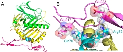 Proposed CRT-SE interaction model.A. A SE-positive HLA-DR4 molecule (PDB ID: 2SEB) interacting with the SE-binding site in the CRT P-domain. The HLA-DRα chain is shown in green, HLA-DRβ chain is in yellow, the SE is in cyan, CRT P-domain is in purple, and the groove peptide is shown in orange. B. A closer view of the interactions between CRT Glu217 and SE Gln70 and between CRT Glu223 and SE Arg72.