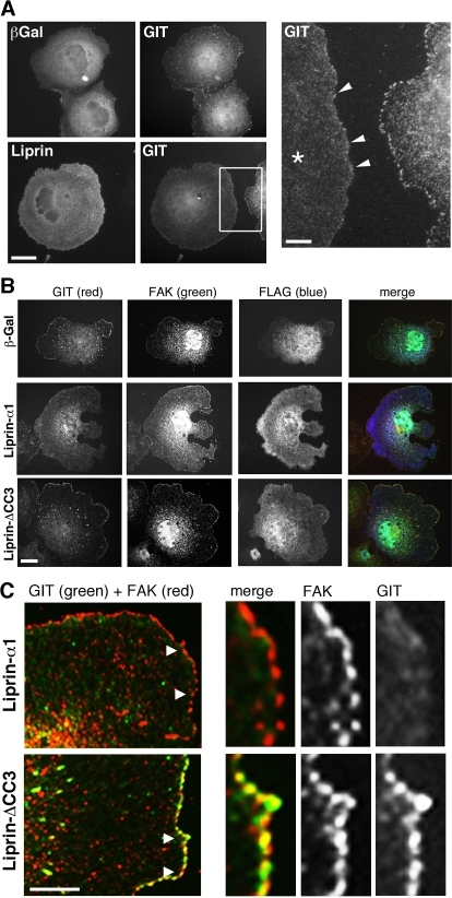 Liprin-α1 affects the subcellular localization of endogenous GIT.(A) Overexpression of liprin-α1 affects the localization of endogenous GIT at peripheral FAs. COS7 cells overexpressing either FLAG-liprin-α1 or FLAG-βgalactosidase were plated for 1 h on FN and immunostained for the transfected protein and for endogenous GIT. Scale bar, 20 µm. Right panel: four-fold enlargement of the boxed field; liprin-α1 overexpression (cell with asterisk) reduces the accumulation of GIT at newly formed FAs at the edge of transfected cells (arrowheads). Scale bar, 5 µm. (B) Cells transfected with FLAG-βgalactosidase, FLAG-liprin-α1, or FLAG-liprin-ΔCC3 were plated for 1 h on FN before fixation and staining for the transfected protein and for endogenous GIT and FAK proteins. Scale bar, 20 µm. (C) High magnification of the edge of transfected cells showing that endogenous GIT overlaps well with FAK at peripheral FAs of FLAG-liprin-ΔCC3 transfected cells, while poor overlap between endogenous GIT and FAK is seen at peripheral FAs of FLAG-liprin-α1 expressing cells. Scale bar, 10 µm. Panels on the right are 3-fold enlargements of the areas indicated by arrowheads in the corresponding images on the left.
