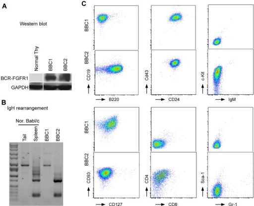 BCR-FGFR1 derived cell lines are consistent with an pro-B cell phenotype.(A) Western blot analysis shows the presence of the 120 kD BCR-FGFR1 fusion protein in BBC1 and BBC2 cells compared with normal thymocytes. (B) Genomic PCR analysis of IgH rearrangement showing the germline configuration in the tail and polyclonal rearrangements in the spleen from normal mice. (C) Flow analysis of BBC1 and BBC2 cell lines demonstrates an immature B-cell immunophenotype.