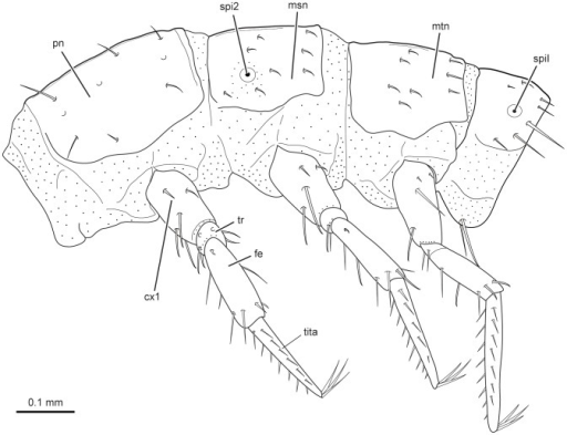 L Vesicatoria Thorax Lateral View Line Drawing Abbr