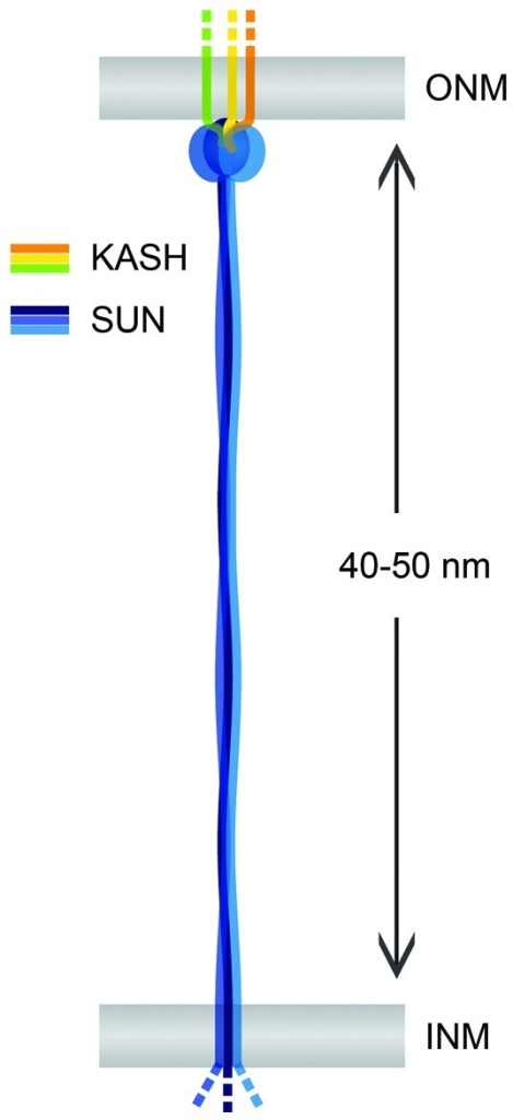Figure 4. The LINC complex as a nuclear membrane spacer. SUN and KASH domain proteins (blue and yellow) are TM proteins of the INM and the ONM, respectively. SUN-KASH complexes may serve as nuclear membrane spacers and determine the regular shape of the NE. Observed INM-ONM distances in mammalian cells fit well the luminal sizes of both SUN1 and SUN2 given that their coiled coil regions form continuous and extended structures. Analogously, other LINC complexes might determine the spacing of the nuclear membranes in different cell types or species.