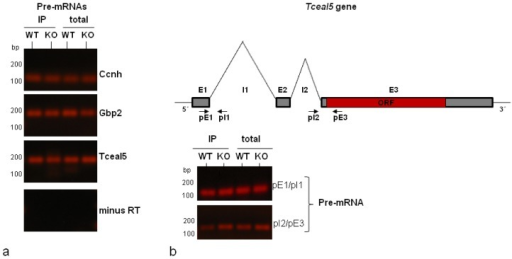Detection of pre-mRNAs of Tceal5, Gbp2 and Ccnh in hnRNP A1 IPs. (a) RT-PCR using primers specific for the unspliced transcripts were used to detect the pre-mRNA forms of the tested genes, as identified both in the total nuclear RNA and in the IPs of HuR WT and HuR KO cells. Control reactions in the absence of reverse transcriptase, to exclude the amplification of contaminated DNA, are also shown; (b) Schematic representation of the Tceal5 gene organization, showing the position of the primers used to amplify the Tceal5 pre-mRNA. RT-qPCR verification, using two different pairs of primers, of the Tceal5 pre-mRNA in IPs and total nuclear RNA in both cell types (in contrast to the spliced transcript detected only in HuR KO cells; Figure 3d).