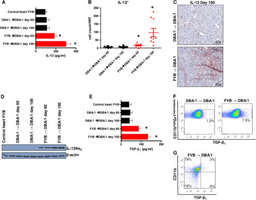 Activation of IL-13/TGF-β1 pathway in allogeneically transplanted grafts. (A) ELISA of supernants of cultured allograft-infiltrating cells detected significantly elevated IL-13 levels in allografts (day 60, P = 0.0031 and day 100, P = 0.0003)compared to syngrafts or FVB control hearts (P = 0.0055 and P = 0.0042). (B) Immunohistochemistry showed significantly higher and over time increasing numbers of IL-13+ cells in FVB hearts transplanted into DBA/1 recipients (day 60, P = 0.0228; day 100, P = 0.0037) relative to syngeneic animals (day 60 versus day 100, P = 0.0083). (C) Representative immunohistochemical stainings showed more IL-13+ cells in allografts ( FVB into DBA/1) compared to controls (DBA/1 into DBA/1; day 100). (D) Western blot analysis revealed expression of IL-13Rα2 only in allograft-infiltrating cells isolated from allogeneically transplanted hearts (FVB into DBA/1) in contrast to cells isolated from FVB controls or syngrafts (DBA/1 into DBA/1) without IL-13Rα2 expression. (E) Measurement of TGF-β1 by ELISA detected significantly elevated TGF-β1 levels in cells isolated from DBA/1 mice grafted with FVB hearts at day 60 (88 ± 5 versus 46 ± 5 pg/mL; P = 0.0010) and at day 100 (133 ± 6 versus 42 ± 7 pg/mL; P <0.0001) in comparison to syngrafts,and FVB control hearts (40 ± 8 pg/mL; P = 0.0048 and P = 0.0009, respectively). (F) Flow cytometry of graft-infiltrating cells extracted from allografts showed a higher percentage of CD11bhighGr1intermediateTGF-β1+ cells (7.3%) than in the syngeneic controls (1.2%; day 100). (G) In the flow cytometric analysis (pre-gated for CD45) these CD11bhigh cells were the only source of TGF-β1 production. The histological score is the mean of 3 HPF (20x magnification); at least five mice per group were analyzed. *P <0.05. ELISA, enzyme-linked immunosorbent assay; HPF, high power field; IL-13, interleukin 13; TGF-β1, transforming growth factor beta 1.