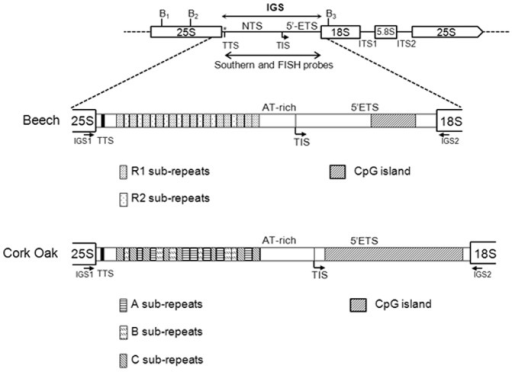 Structural organization of the nuclear-encoded 18-5.8-25S rDNA tandem repeats in F. sylvatica and Q. suber.IGS – intergenic spacer; * 3′-ETS - 3′ External transcribed spacer is 18 bp long; TTS - transcription termination site; NTS – non-transcribed spacer; TIS - transcription initiation site; 5′-ETS – 5′ external transcribed; ITS – internal transcribed spacer; B1, B2, and B3 - Bam HI restriction sites. IGS1 and IGS2 - primers used in the IGS amplification.