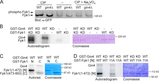 "Gin4 phosphorylates Fpk1 in vivo and in vitro. (A) Wild-type strain (YFR221, WT) or an isogenic gin4Δ (YFR224) expressing Fpk1-GFP were grown to mid-exponential phase and lysed. The resulting extracts were either not treated or treated with CIP or CIP + Na3VO4, resolved on a Phos-tag gel, and analyzed by immunoblotting with anti-GFP antibody. (B) GST-Gin4 (pAB1, WT) or catalytically inactive (""kinase-dead,"" KD) mutant, GST-Gin4(K48A) (pAT103), were purified from E. coli, incubated with γ-[32P]ATP and either GST-Fpk1 (pFR143, WT) or catalytically inactive (KD) mutant GST-Fpk1(D621A) (pFR144), also purified from E. coli. Resulting products were resolved by SDS-PAGE and analyzed by autoradiography (left) and staining with Coomassie dye (right). (C) GST-Gin4 (pAB1, WT) was purified from E. coli, incubated with γ-[32P]ATP and either GST-Fpk1(1–472) (pBS1, N) or catalytically inactive GST-Fpk1(473–893; D621A) (pBS2, C), which were also purified from E. coli, and the products were analyzed as in B. (D) As in C, except that either GST-Gin4 (pAB1, WT) or catalytically inactive (KD) GST-Gin4(K48A) (pAT103) were incubated with either GST-Fpk1(1–472) (pBS1, WT) or GST-Fpk1(1–472; 11A) in which 11 Gin4 phosphorylation sites were mutated to Ala (pJW2)."